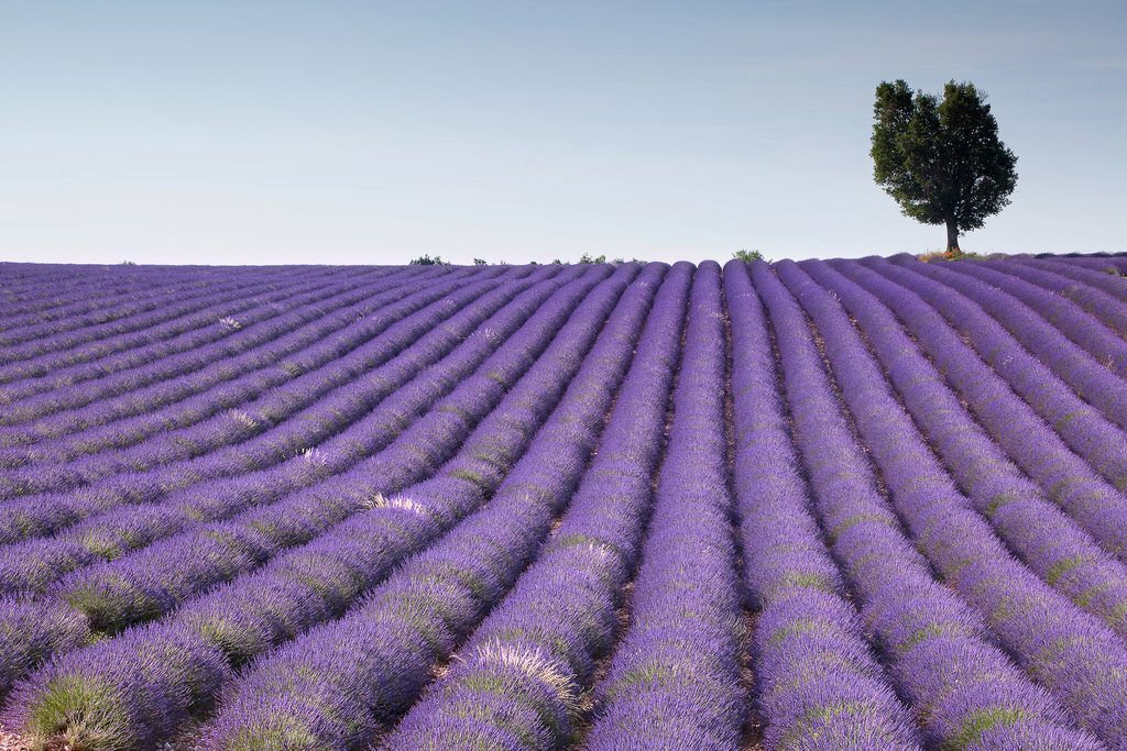 The lovely lavender fields of Provence