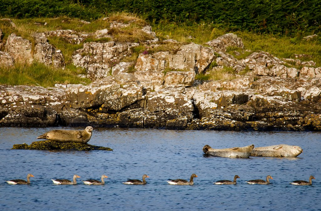 Grey seals bask along the Mull coastline.