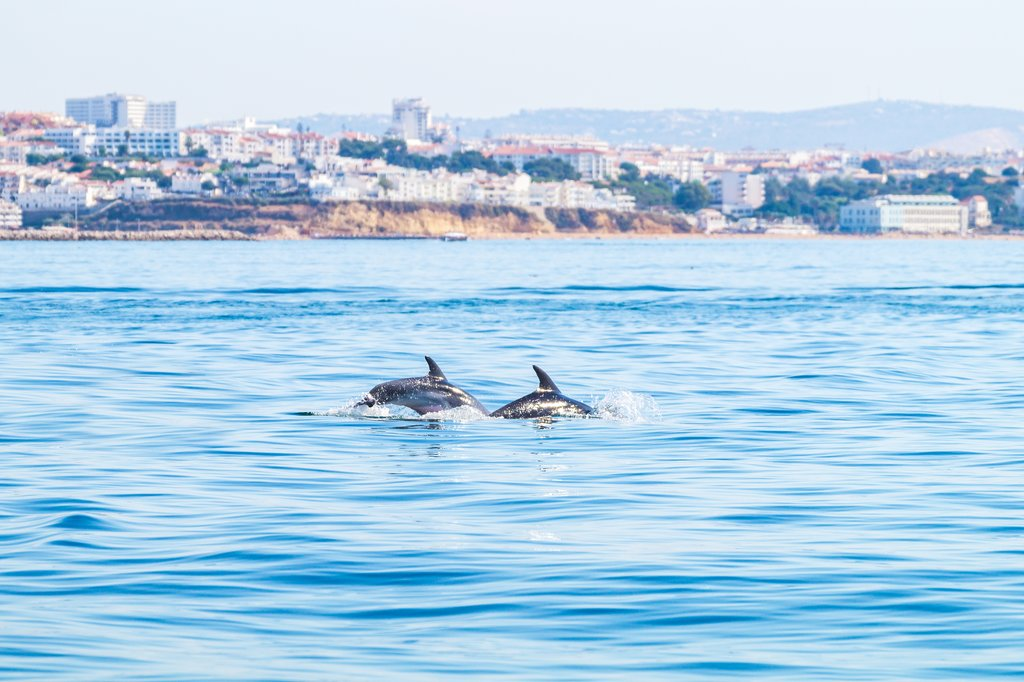 Wild dolphins off the coast of Albufeira