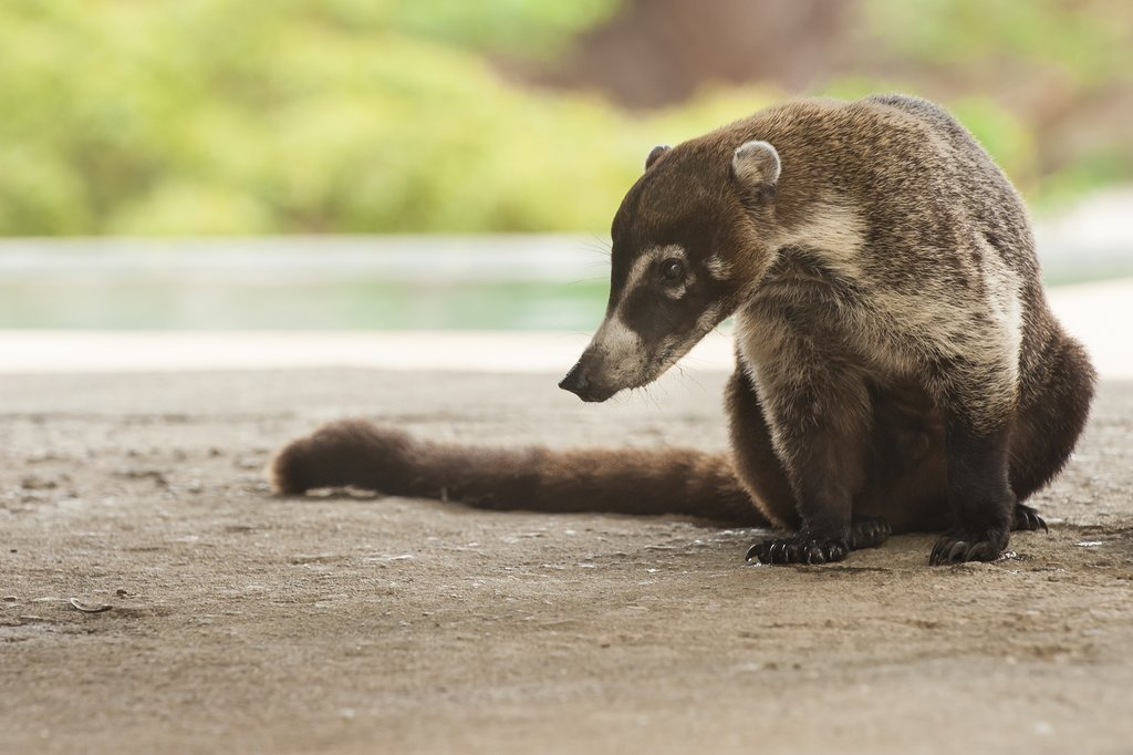 Coatis (part of the raccoon family) are a common site on the Osa Peninsula