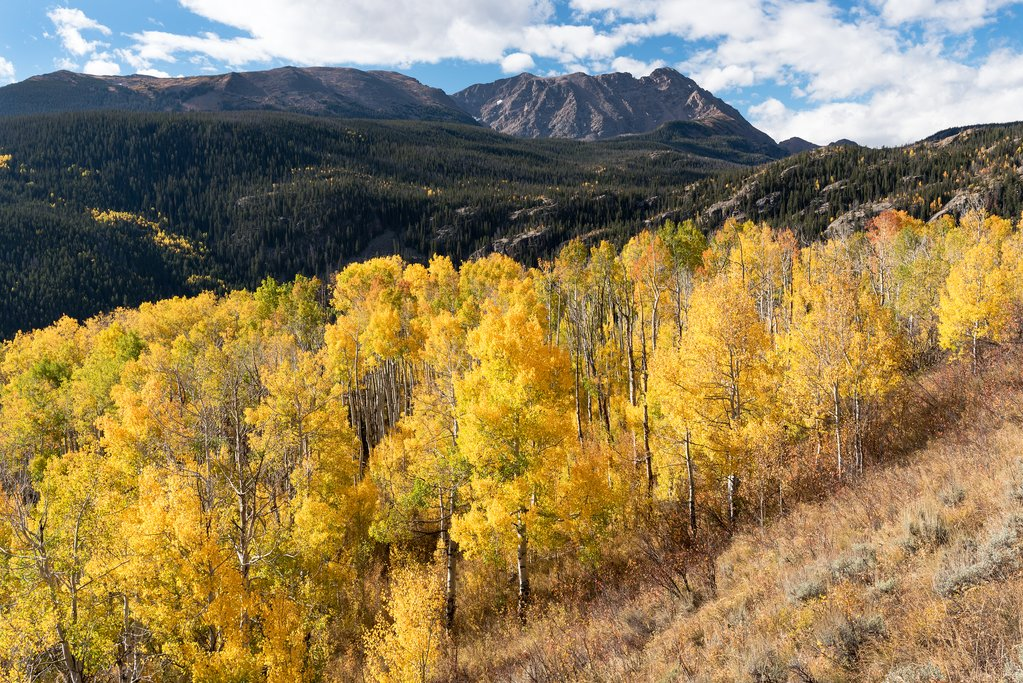 Yellow aspens in the autumn