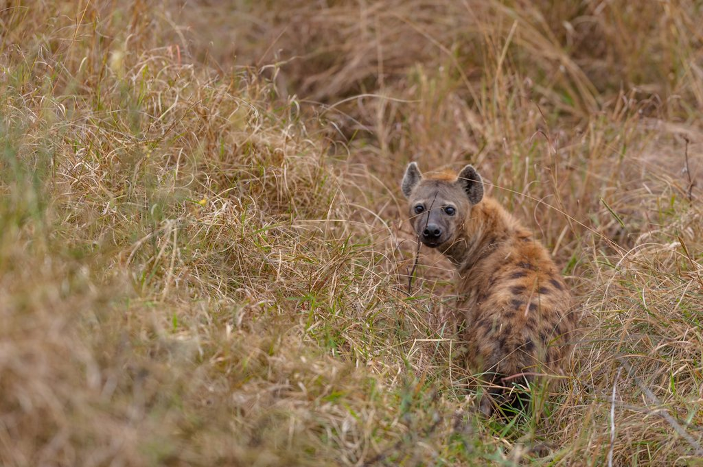 sported hyena Masai mara