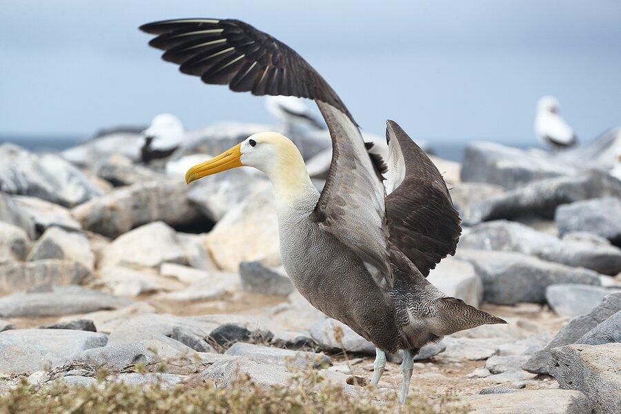 A Galapagos albatross on Española Island