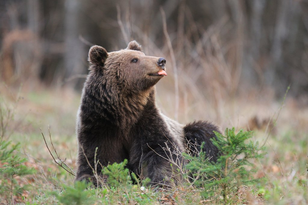 A photogenic bear from Kočevsko