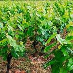 See the vineyards