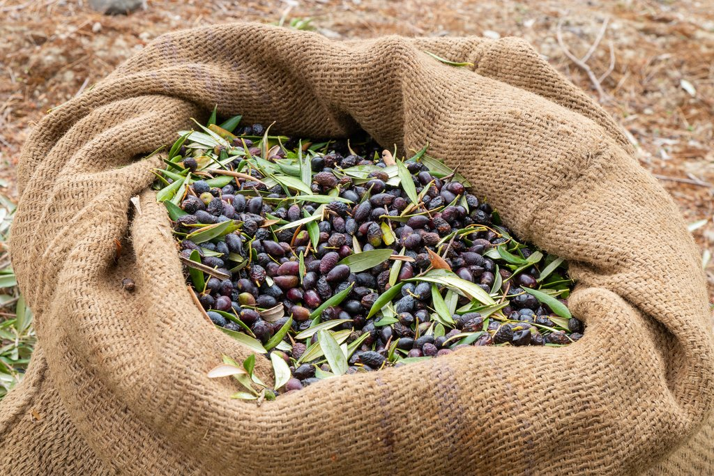 Fall is olive harvest time in Crete