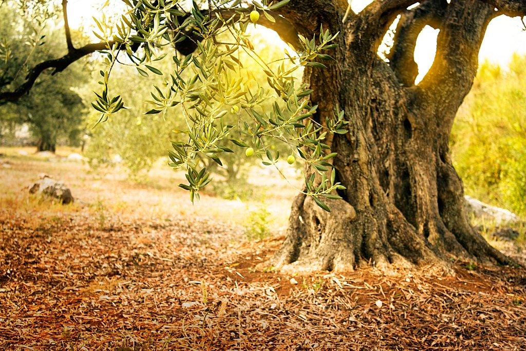Olive groves