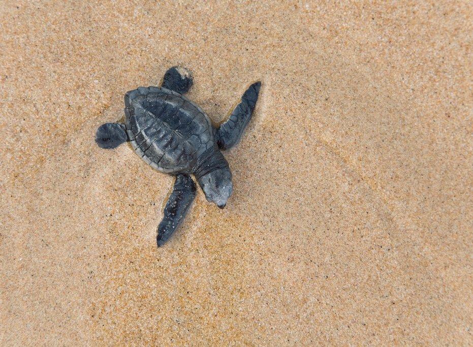 Baby loggerhead turtle, Sri Lanka