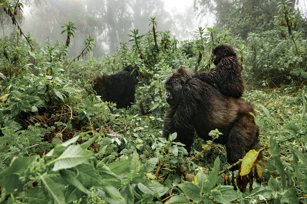 A female mountain gorilla carrying her baby