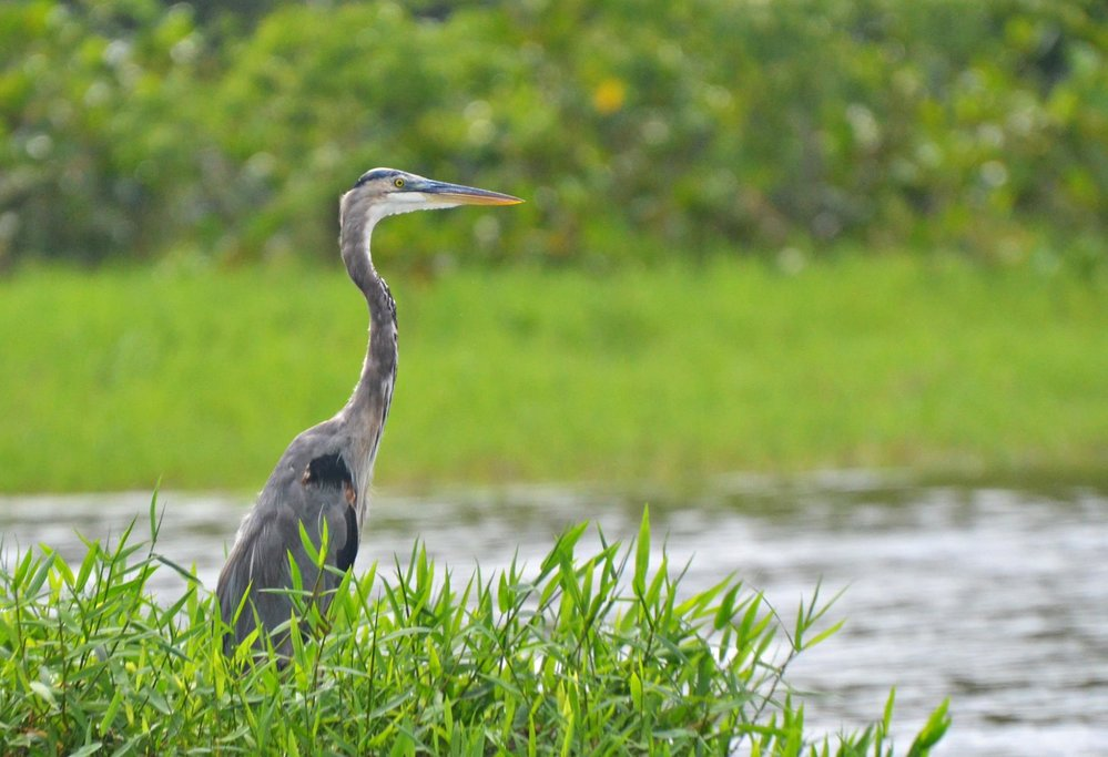 Wildlife at Tortuguero canals