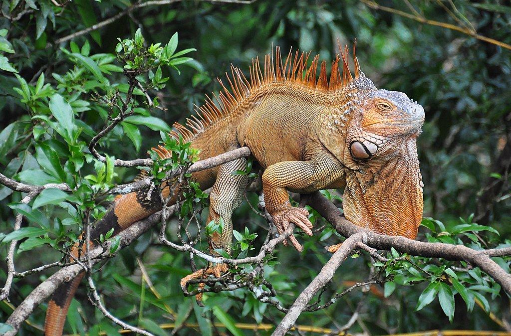 Spot wildlife like iguanas on your kayaking tour.