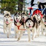 Siberian huskies pull a sled