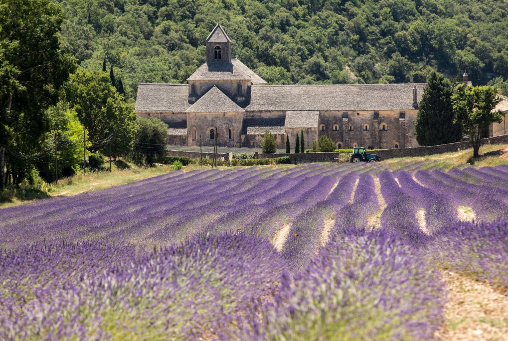 Senanque Abbey and blooming lavender field in Gordes