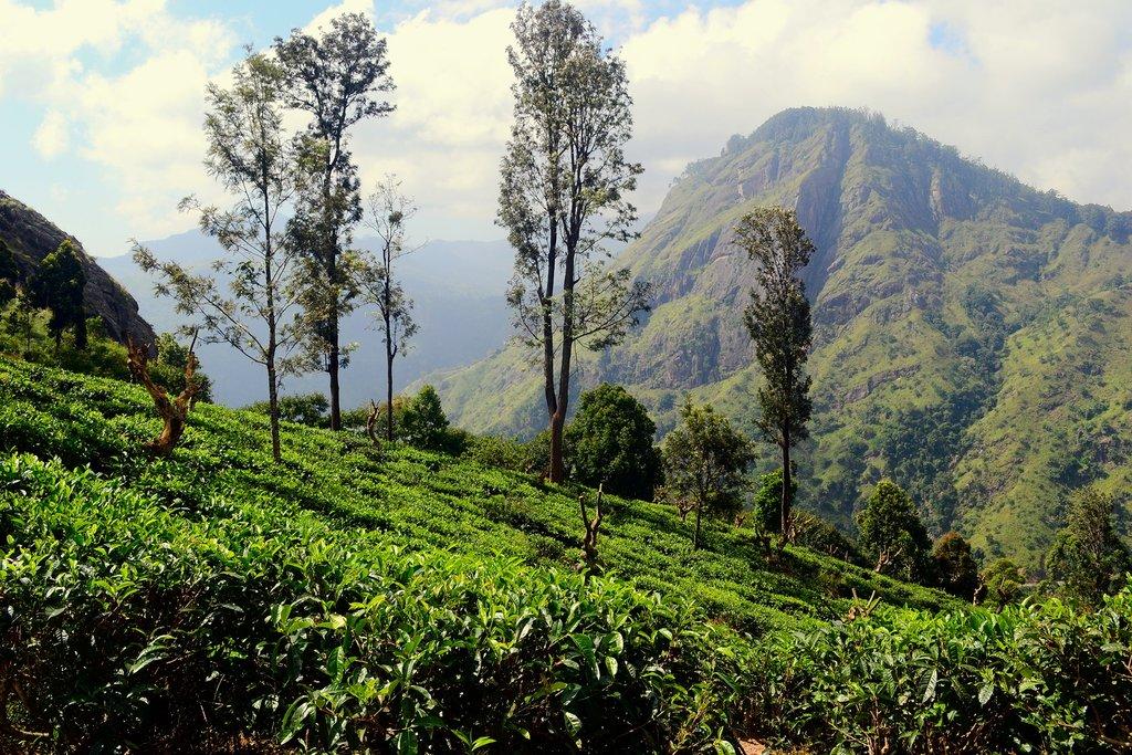Hike through tea plantations up to Ella Rock