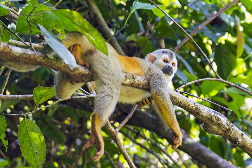 Squirrel monkey lounging in a tree in Manuel Antonio