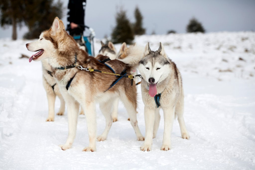 Adorable Huskies ready to hit the trail