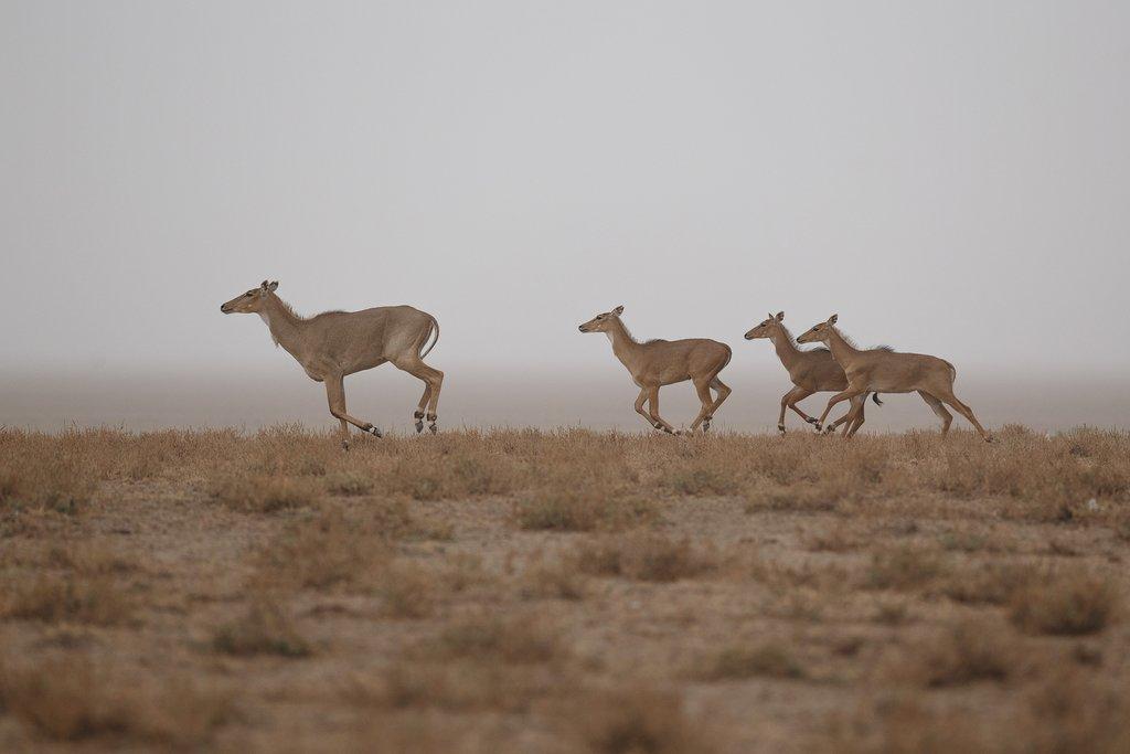 Nilgai antelopes