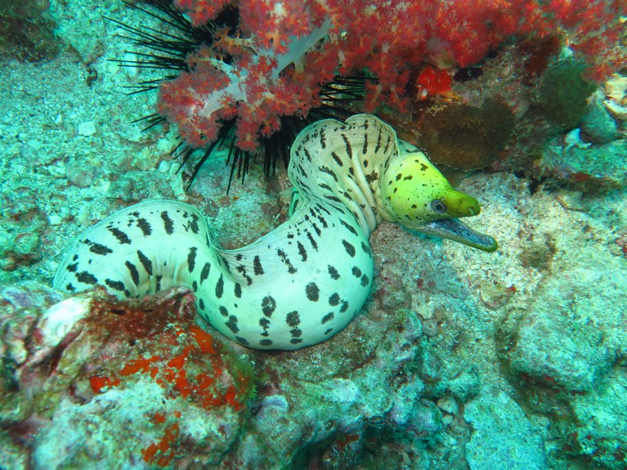 Moray eel in the clear tropical water