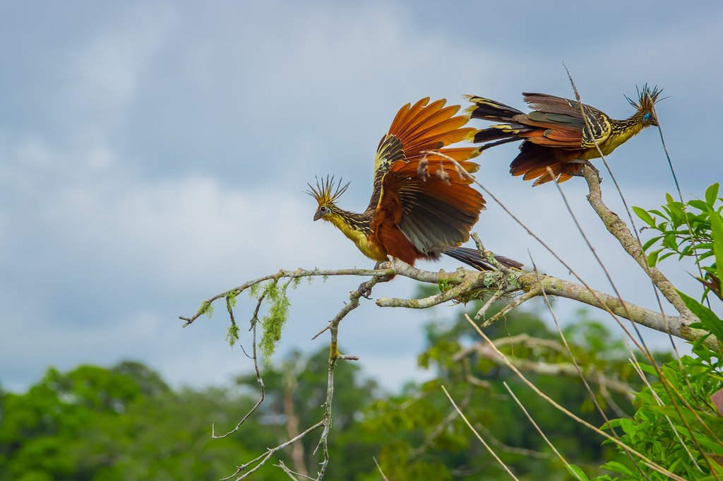 Hoatzin birds in the Amazon