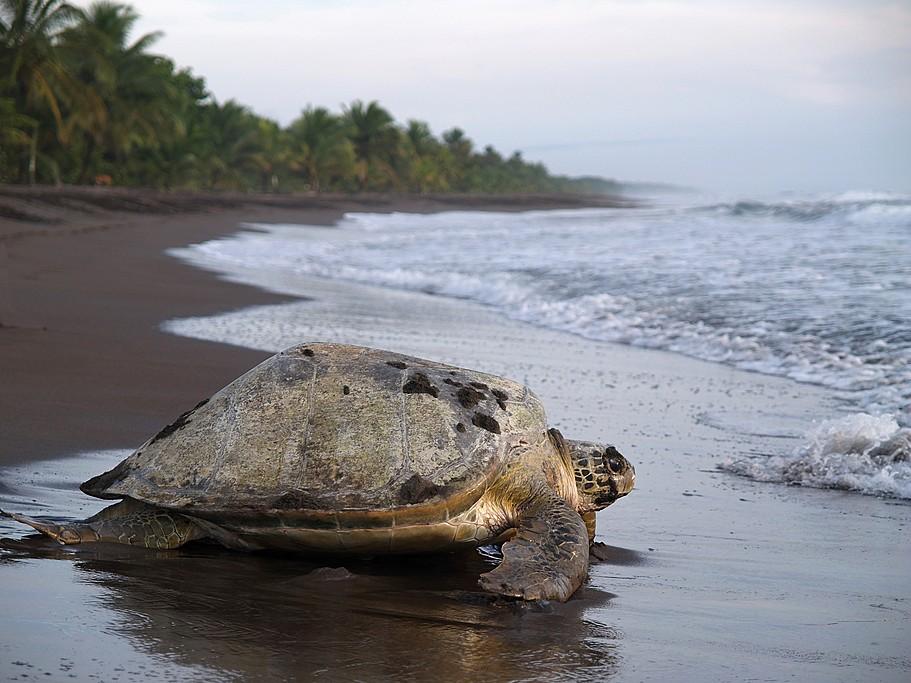 VisitLas Baulas National Marine Park to see leatherback turtles come ashore