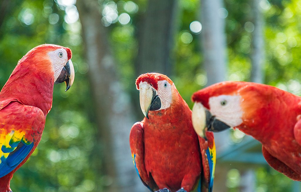 Scarlet macaws are common sights in Tárcoles