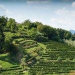 Vineyard on a green hillside in Bergamo