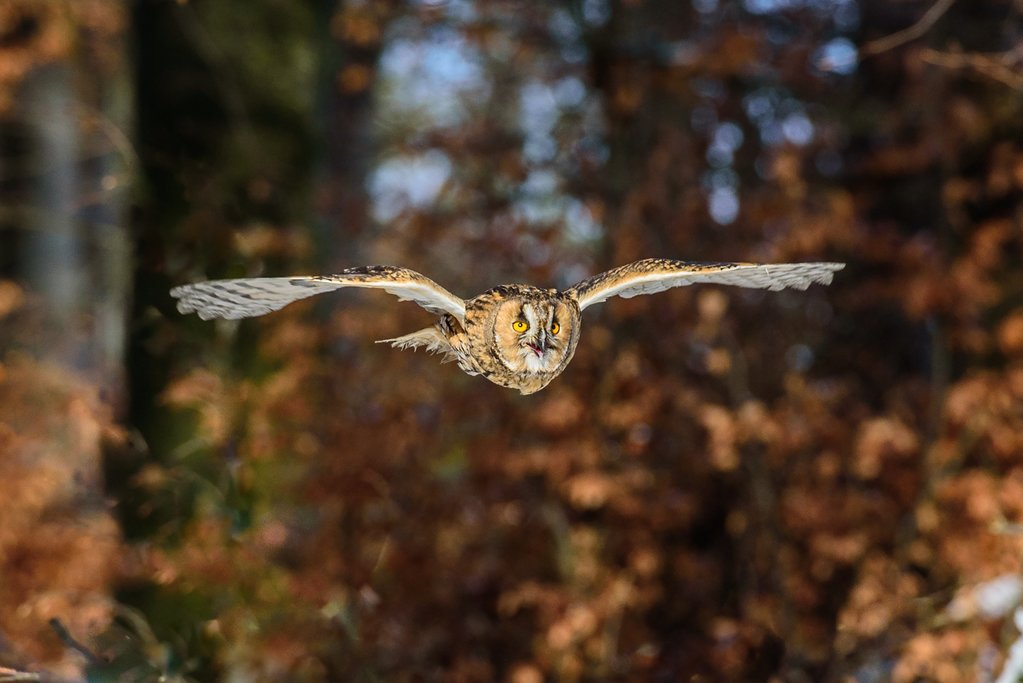An eagle owl flying in a forest