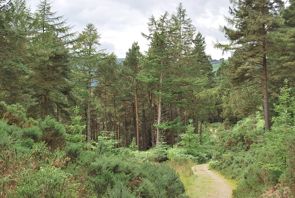 Forest path on the Wicklow Way