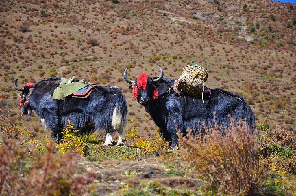 Mountain yaks