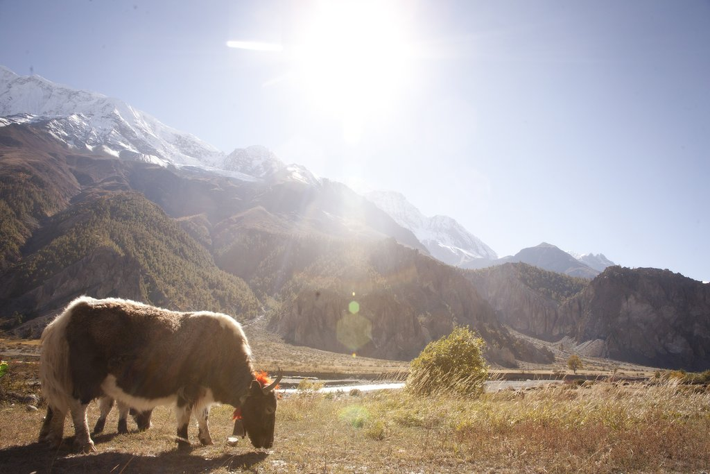Yak sighting near Thorung Phedi