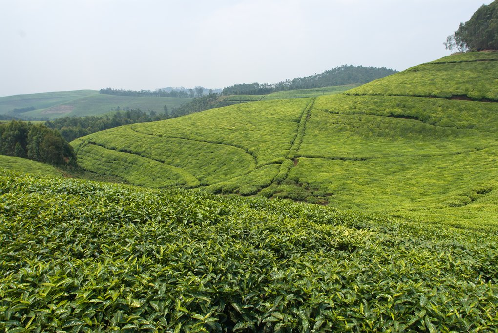View over a tea plantation in Rwanda