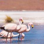 Flamingos call the Altiplano home