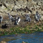The penguin colony at Puñihuil