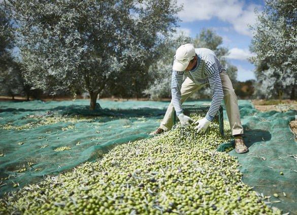 Olive oil farm in Moncarapacho