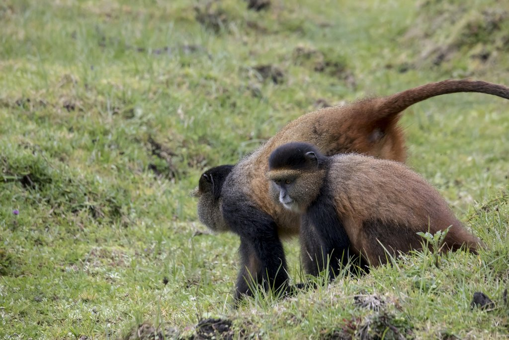 A young Golden Monkey and her mother on the volcanic slopes