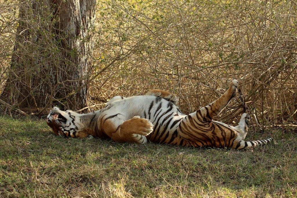 Tiger in Bandipur National Park