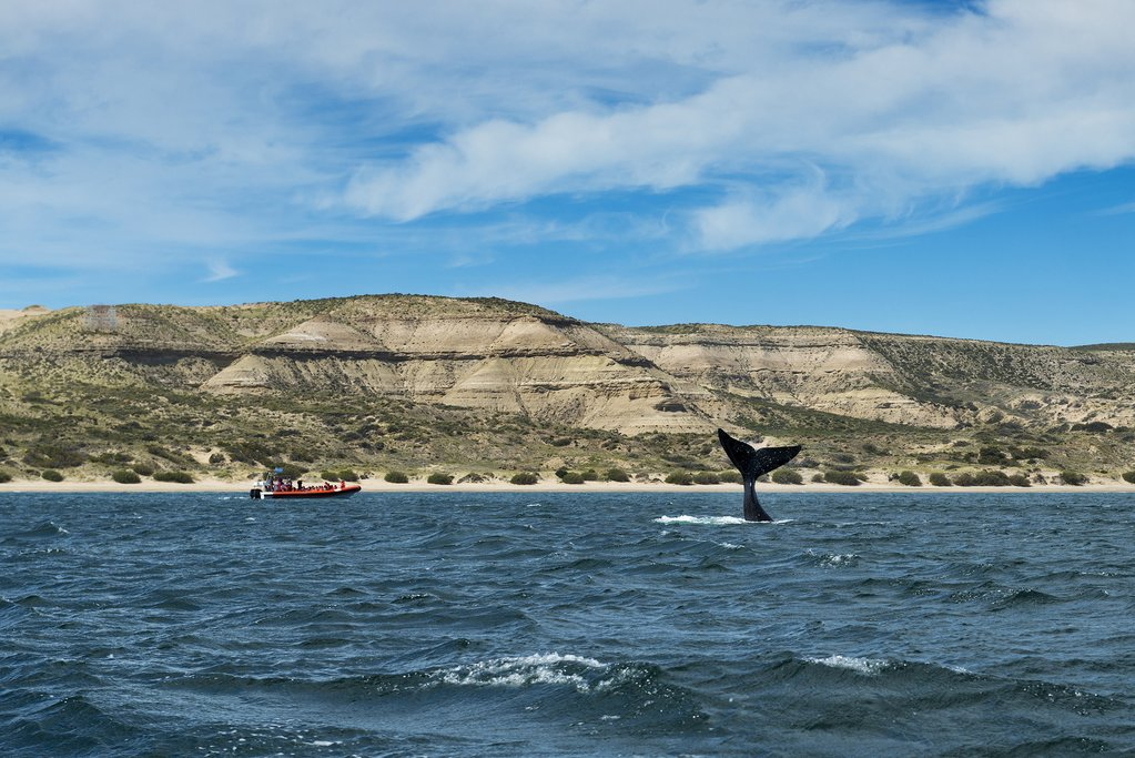 A southern right whale off the coast of Argentinian Patagonia