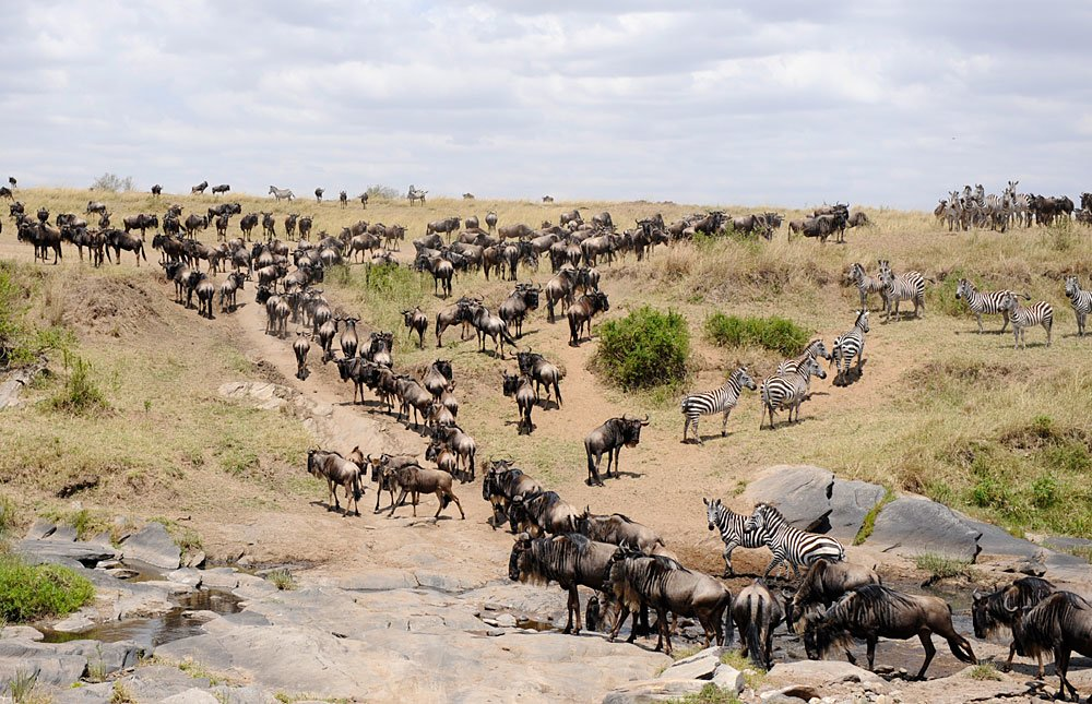 Wandering wildebeest and zebras