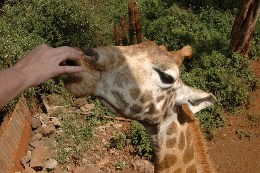Participate in feeding endangered giraffes at a breeding center