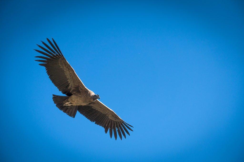 Andean Condor mid-flight