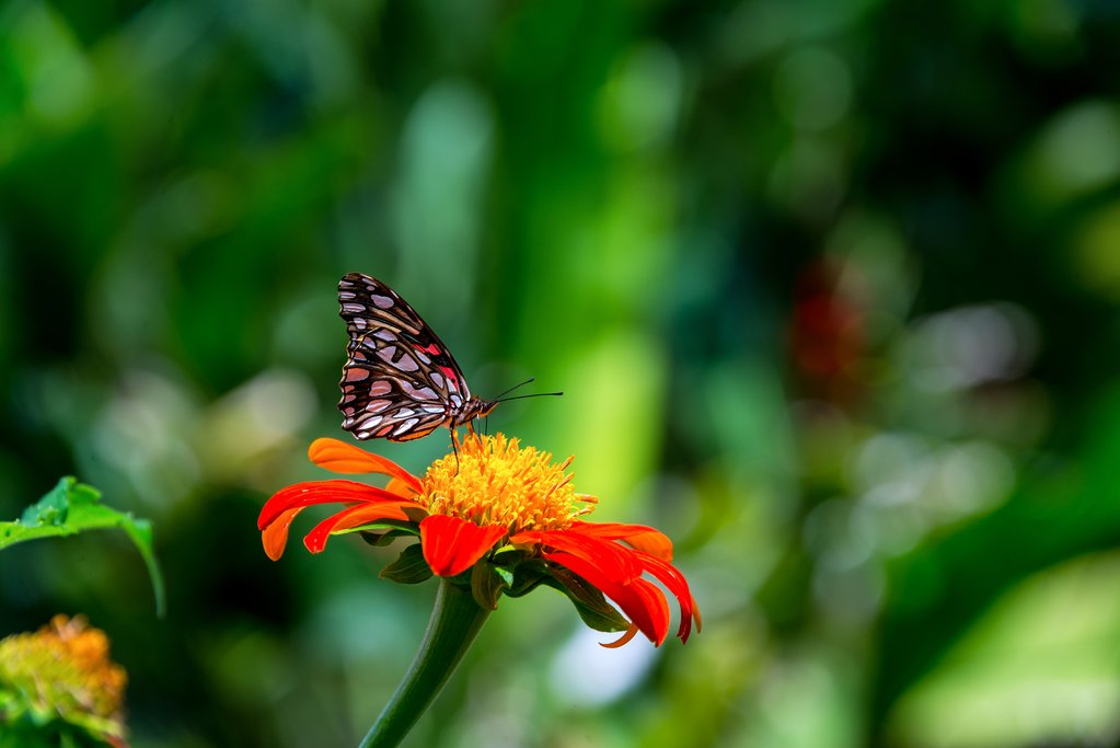 Butterfly on a zinnia elegans flower, Colombia