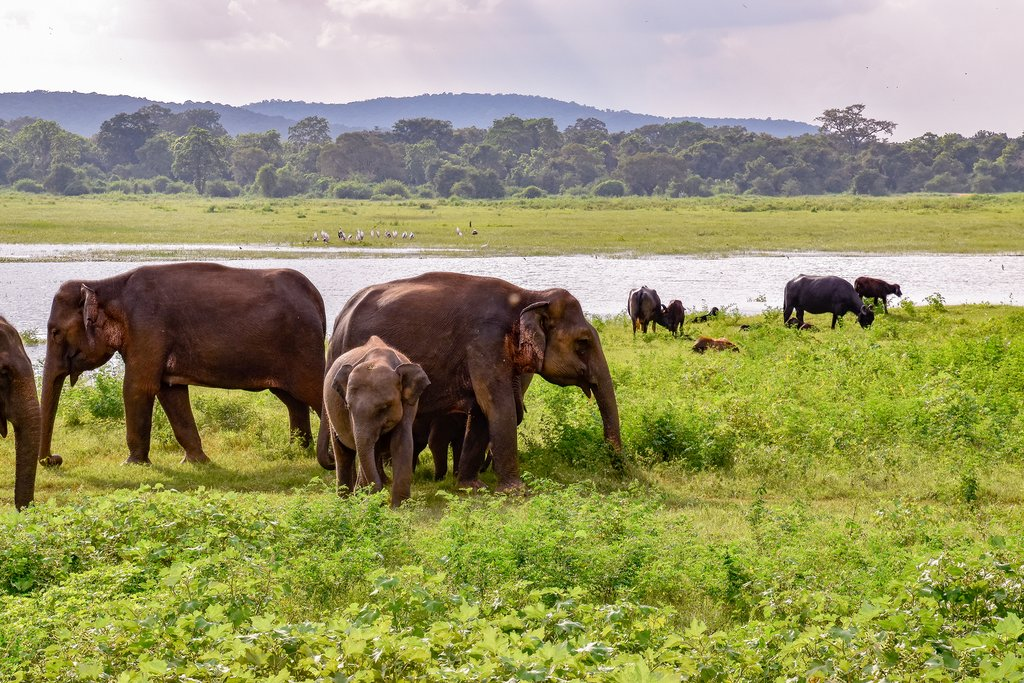 Asian elephants grazing in Udawalawe National Park.