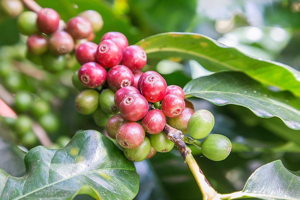 Learn all about local crops, including coffee beans