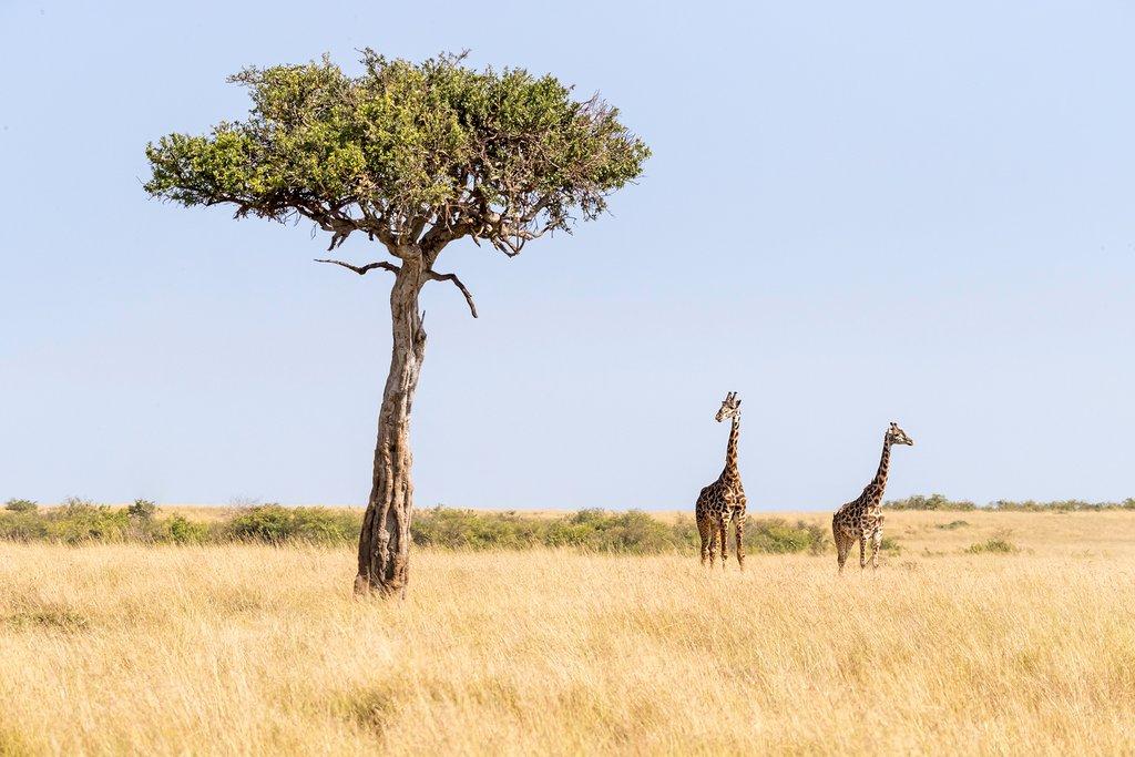 Two giraffes in Maasai Mara