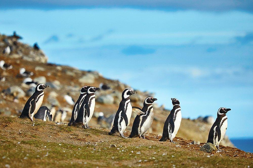 Visit the penguins on Magdalena Island