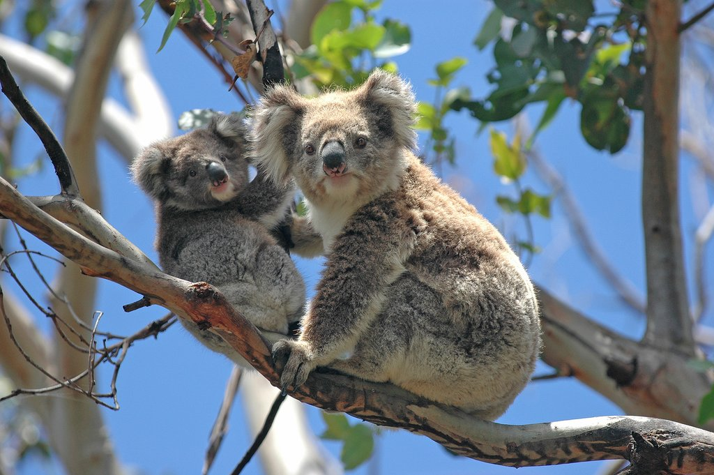 Meet wild koalas near Melbourne