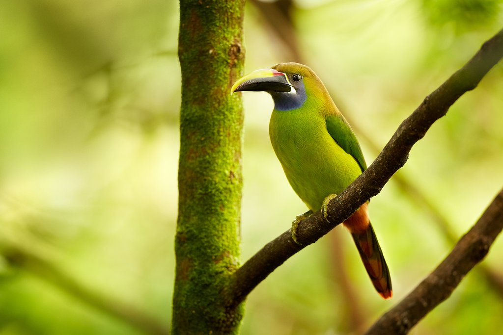 The impressive blue-throated toucanet