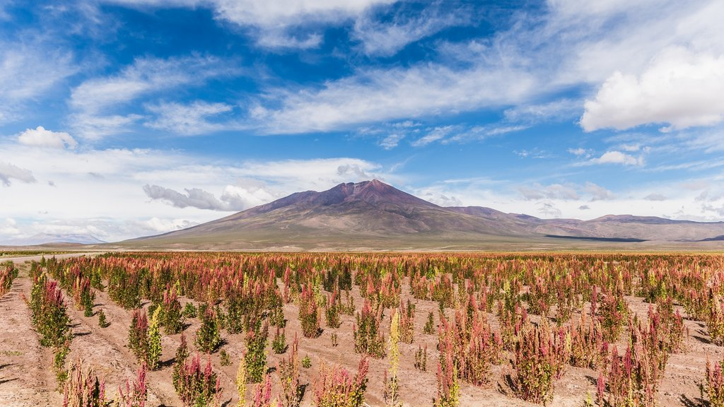 Quinoa fields on the way to La Paz