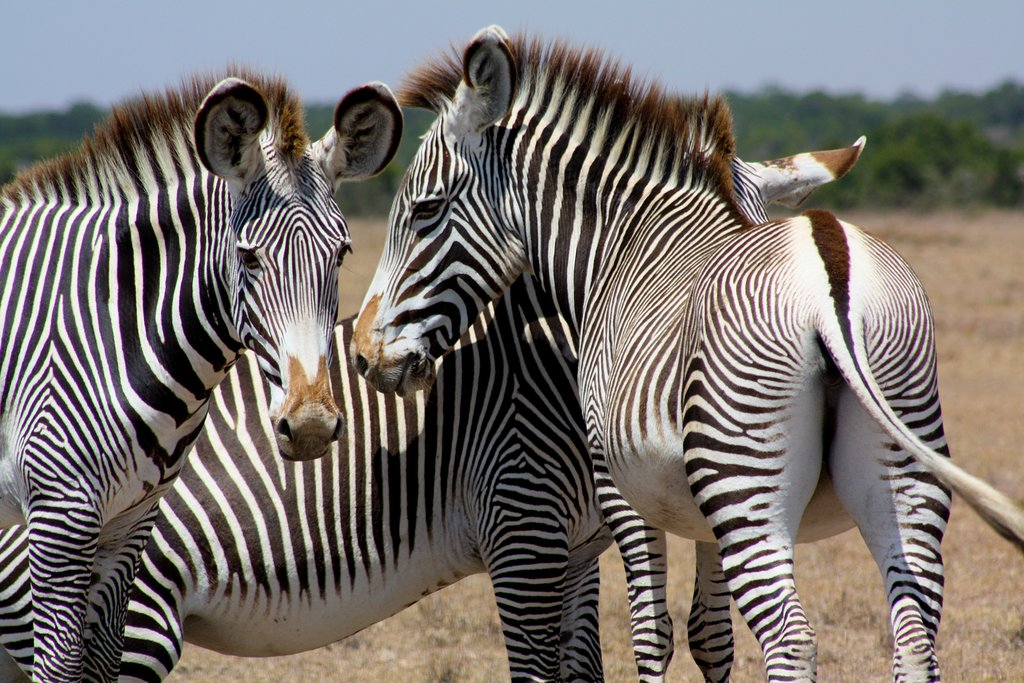Look for zebras on this morning's game drive