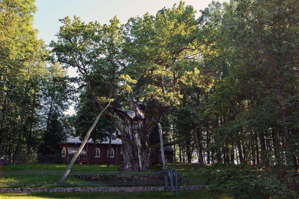 Stelmužė Oak Tree